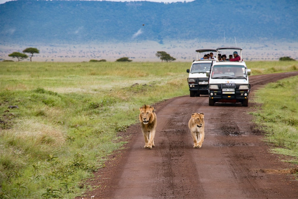 brown lion and lioness walking on dirt road during daytime