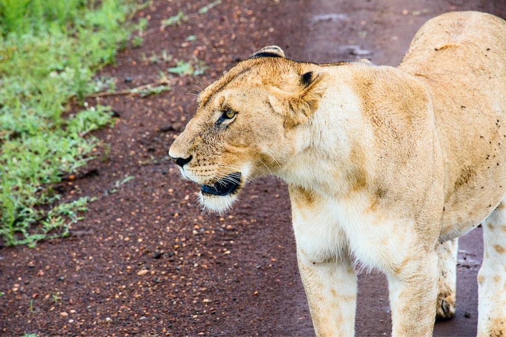 brown lioness walking on brown dirt during daytime