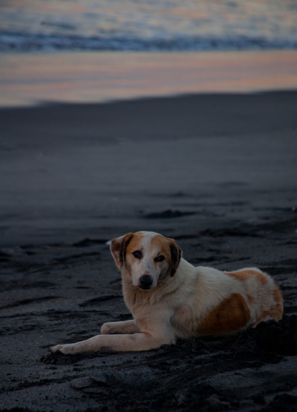 brown and white short coated dog lying on the beach during daytime