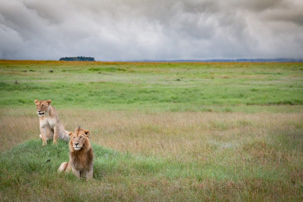 lion lying on green grass field under white clouds during daytime