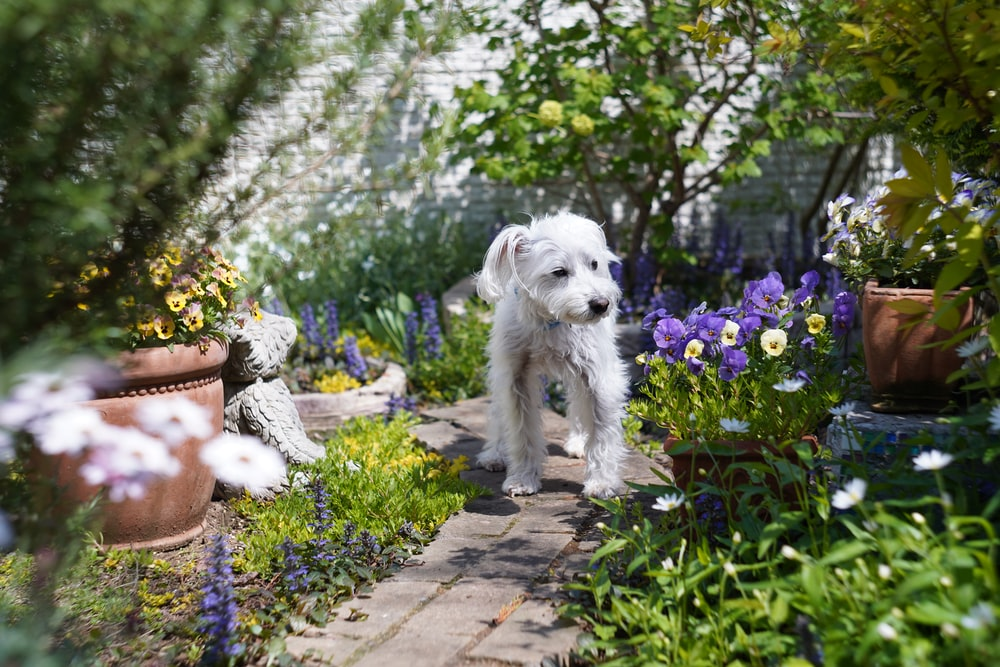 white long coat small dog on grey concrete pathway beside purple flowers during daytime