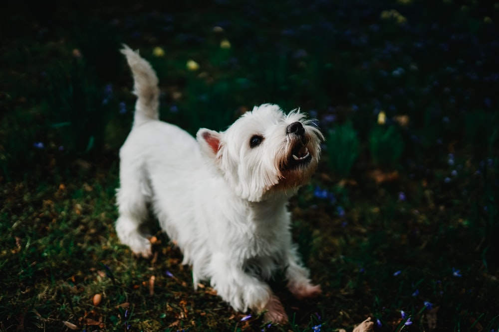 white long coated small sized dog walking on brown soil during daytime