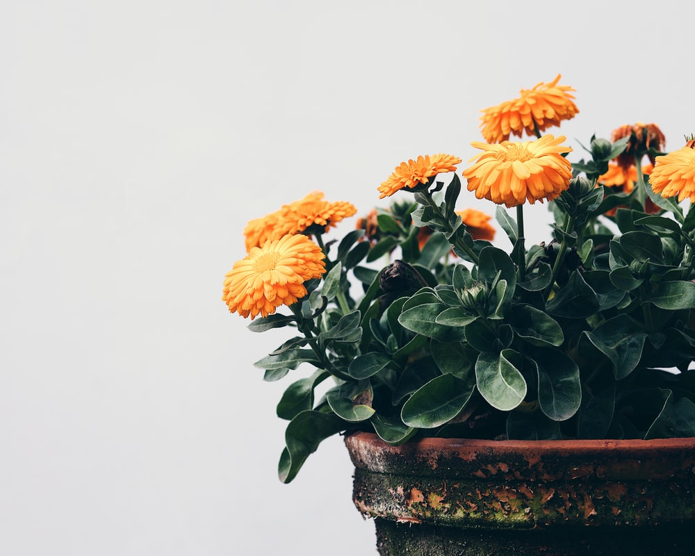 orange and yellow flowers on brown clay pot