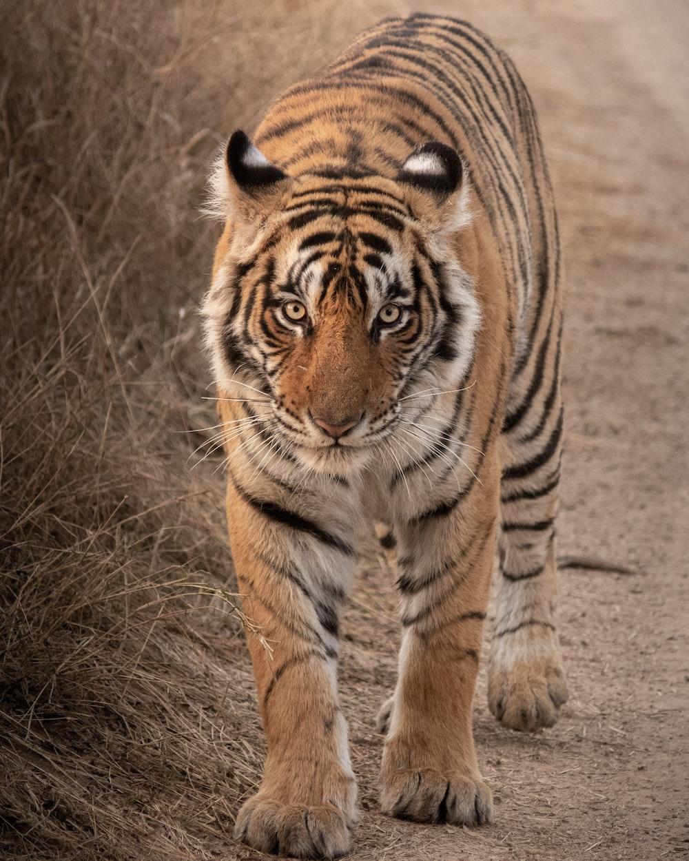 tiger walking on brown grass