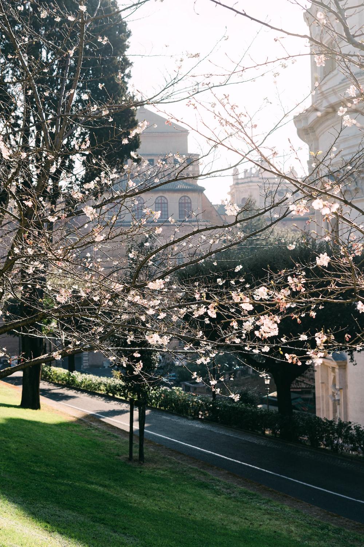 white cherry blossom tree near white concrete building during daytime