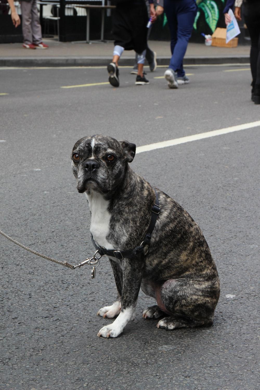 brown and white short coated dog on gray asphalt road