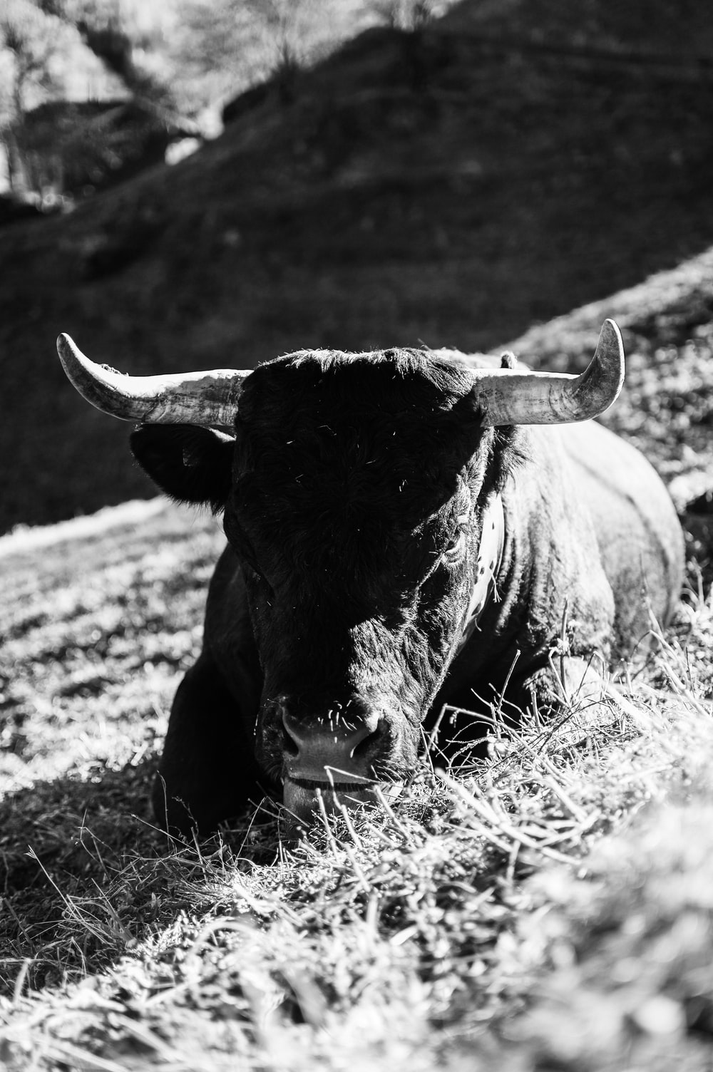 black cow on grass field in grayscale photography