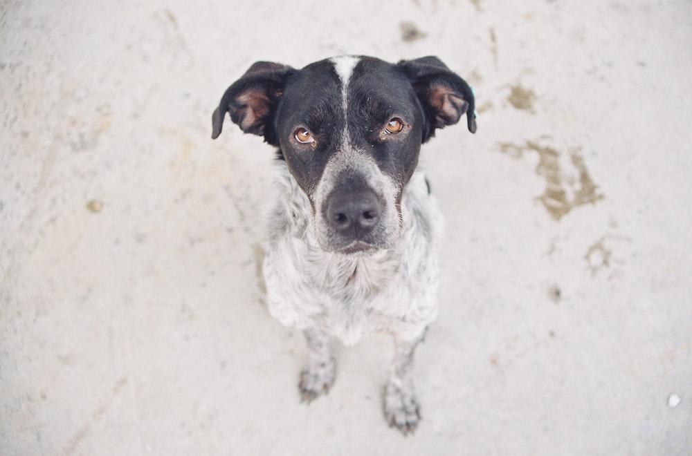 black and white short coat small dog