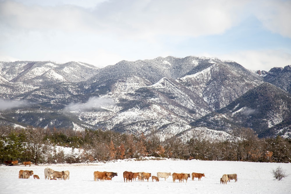 herd of sheep on field near snow covered mountain