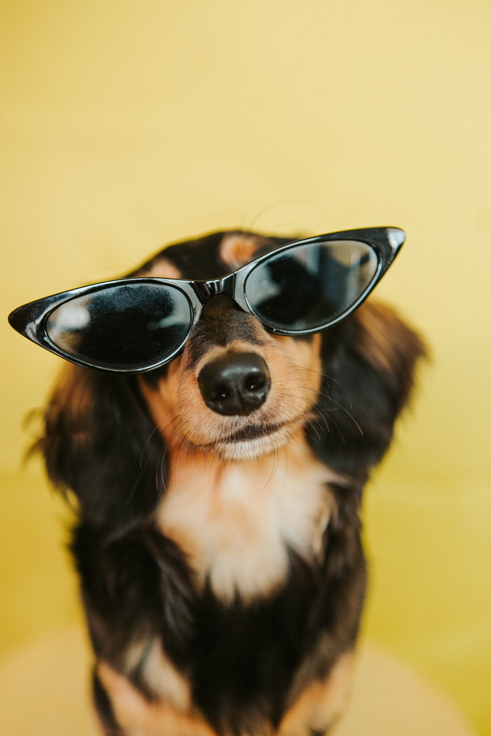 black white and brown long coated dog wearing black sunglasses