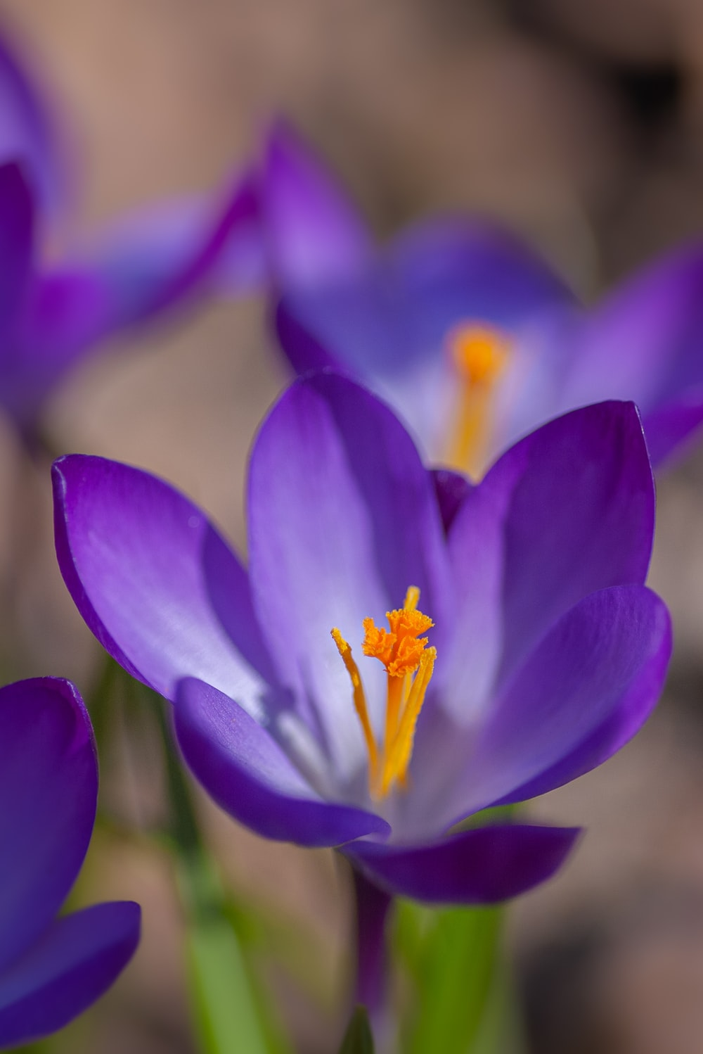 purple crocus in bloom in close up photography