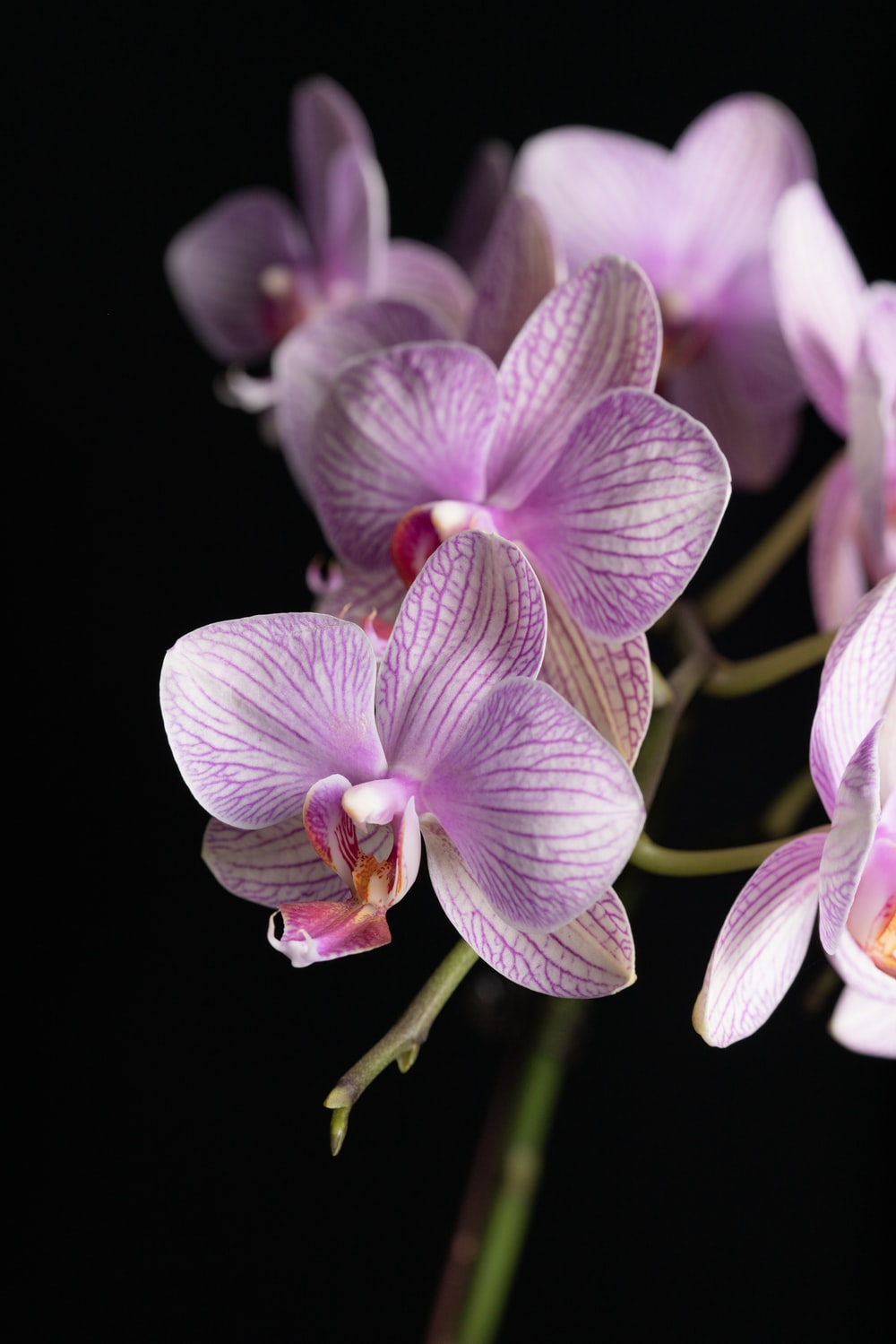 purple and white moth orchids in bloom