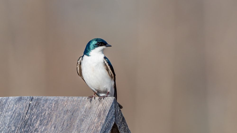 white and blue bird on brown wooden fence