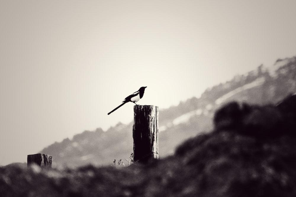 black bird on brown wooden post