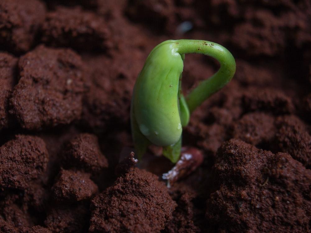 green bell pepper on brown soil