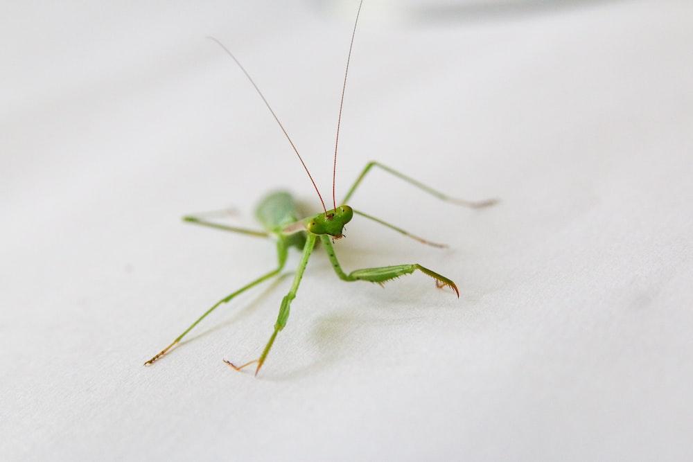 green praying mantis on white textile