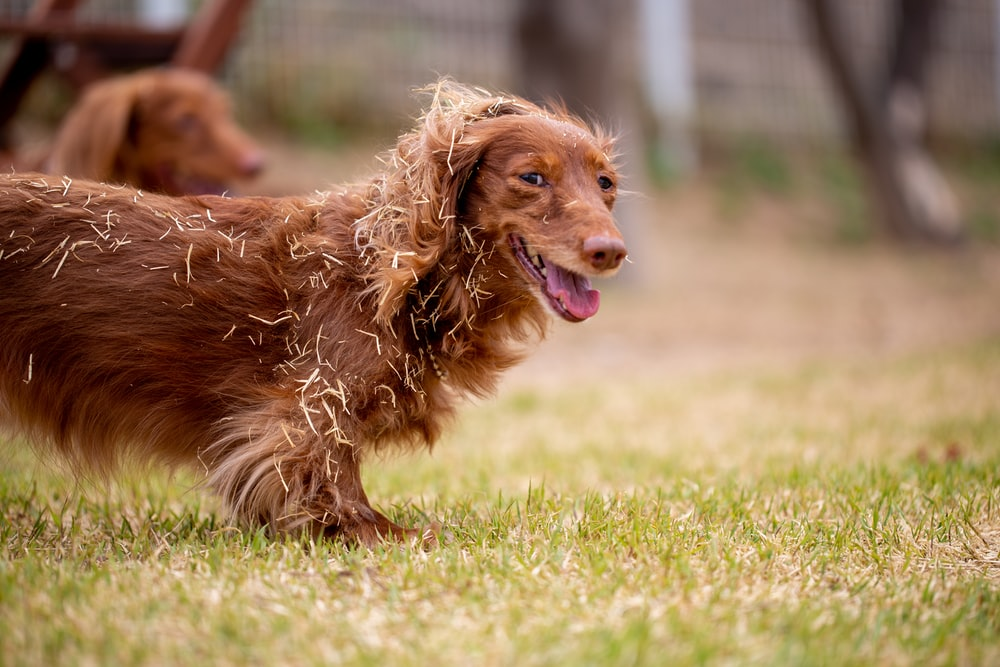 brown long coated dog running on green grass field during daytime