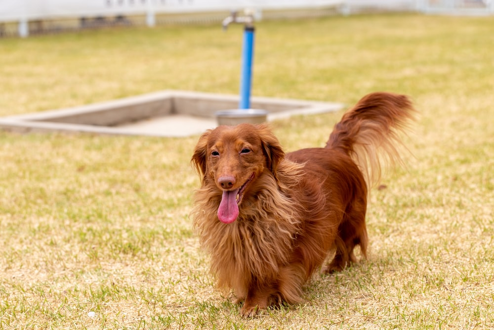 brown long coated medium sized dog sitting on green grass field during daytime