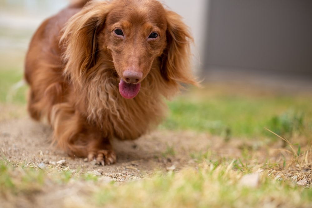 brown long coated small dog on green grass field during daytime