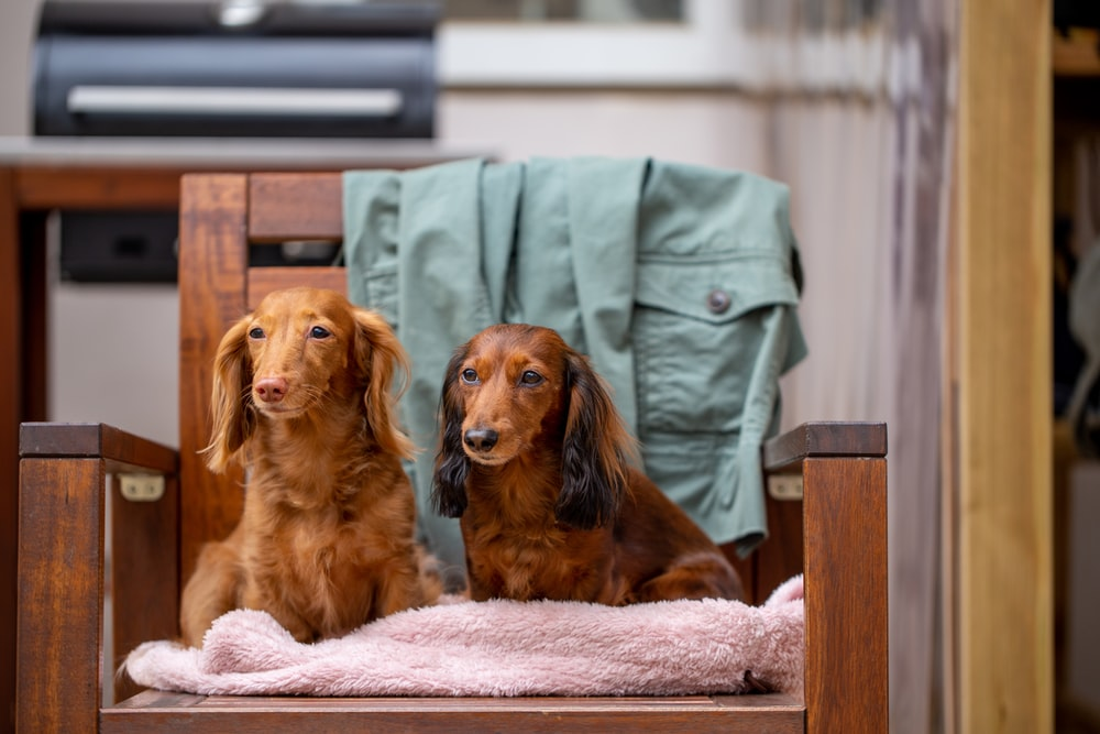 brown long coated dog on brown wooden table