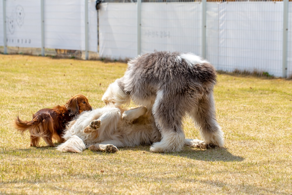 black and white long coated dog lying on brown and white dog on green grass field