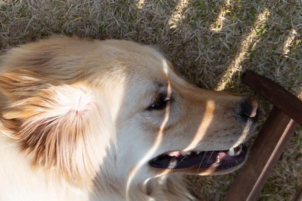white long coated dog lying on green grass