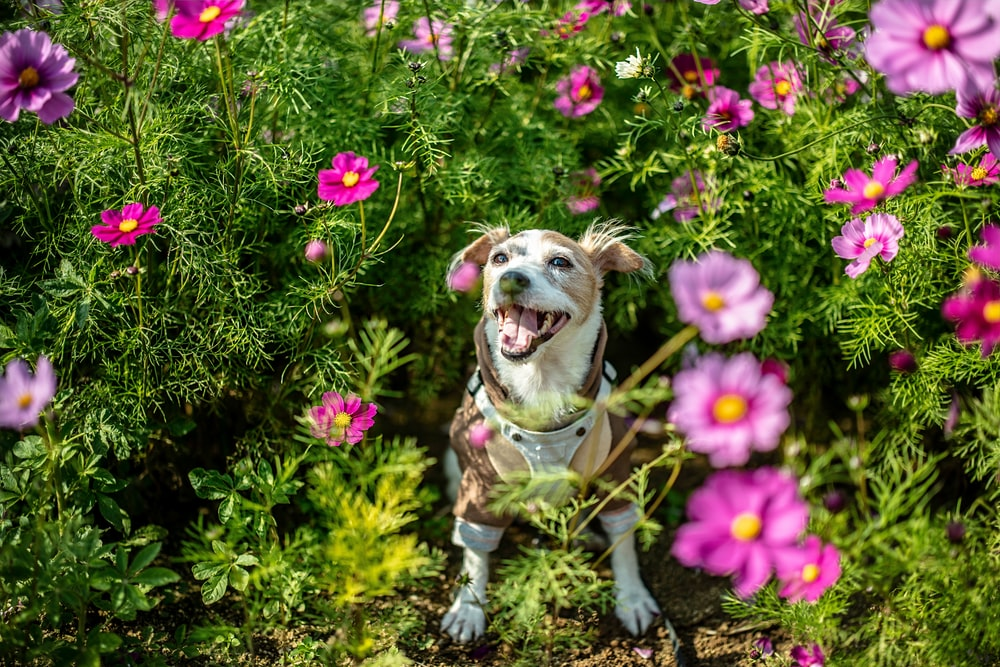brown and white short coated dog on green grass field with pink flowers