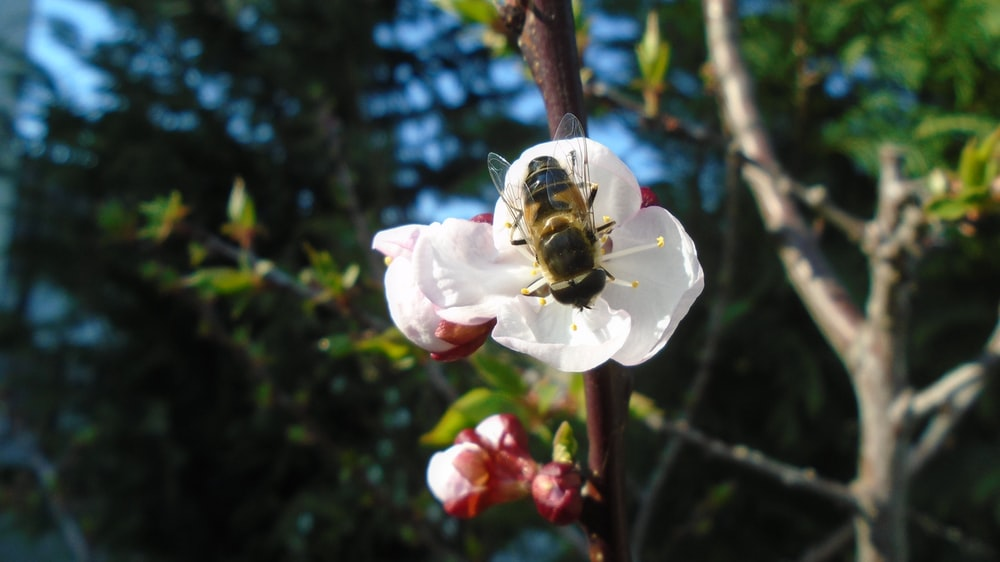 honeybee perched on white and pink flower in close up photography during daytime
