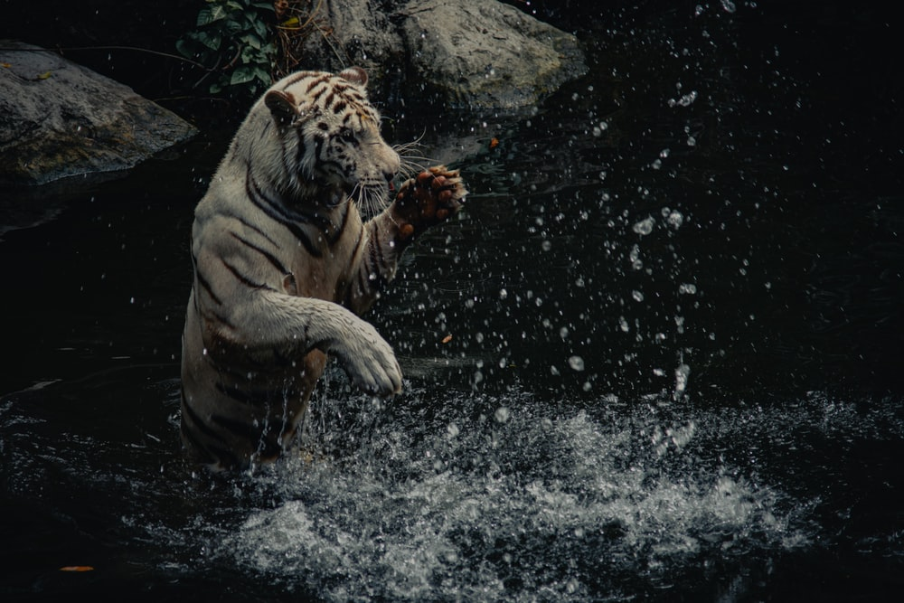 white and black tiger on water