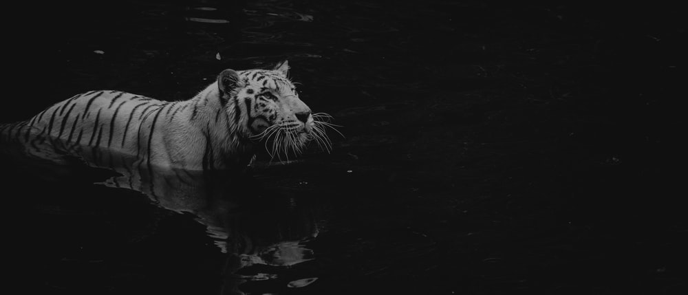 grayscale photo of tiger on water