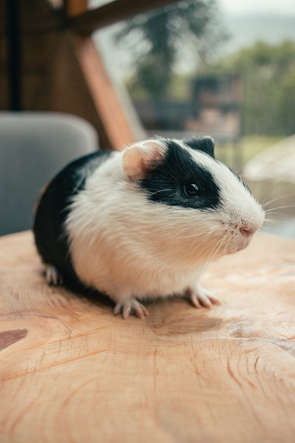 white and black guinea pig on brown wooden table