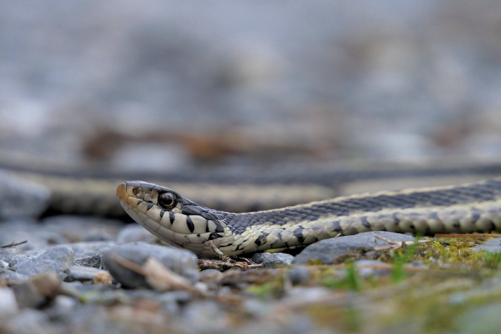 black and brown snake in close up photography