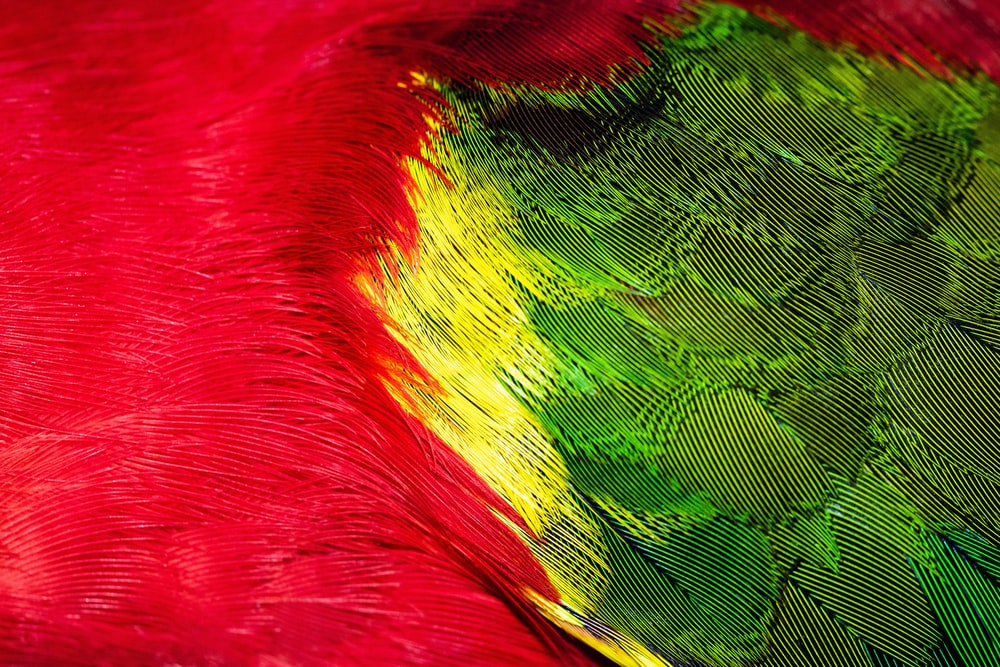 red green and yellow bird
