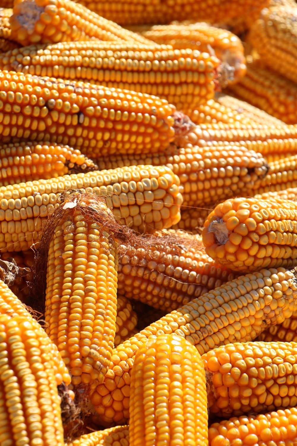yellow corn in close up photography