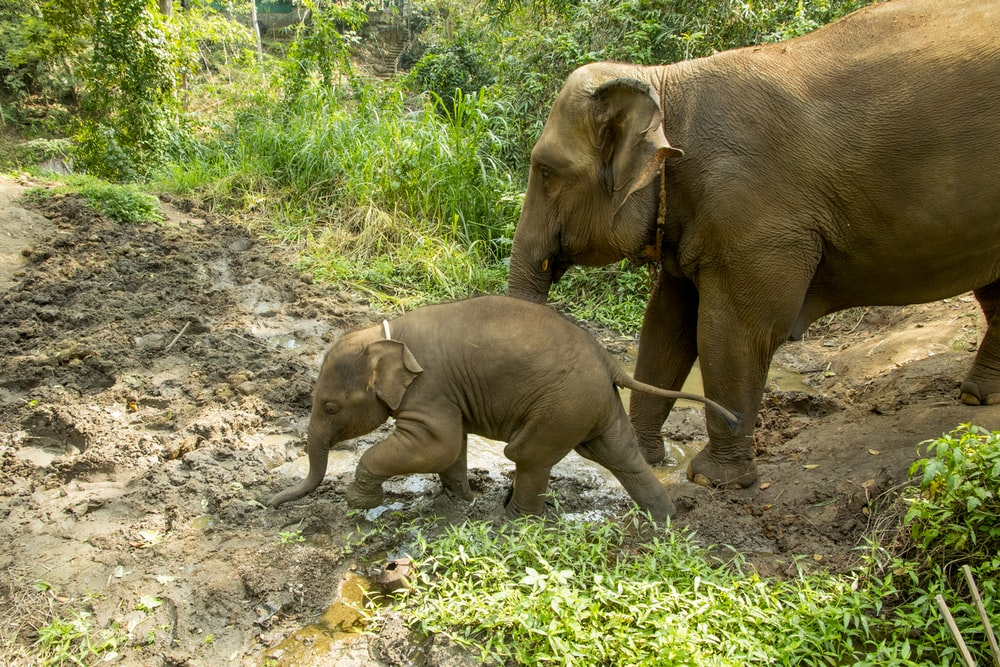 2 brown elephants walking on green grass during daytime