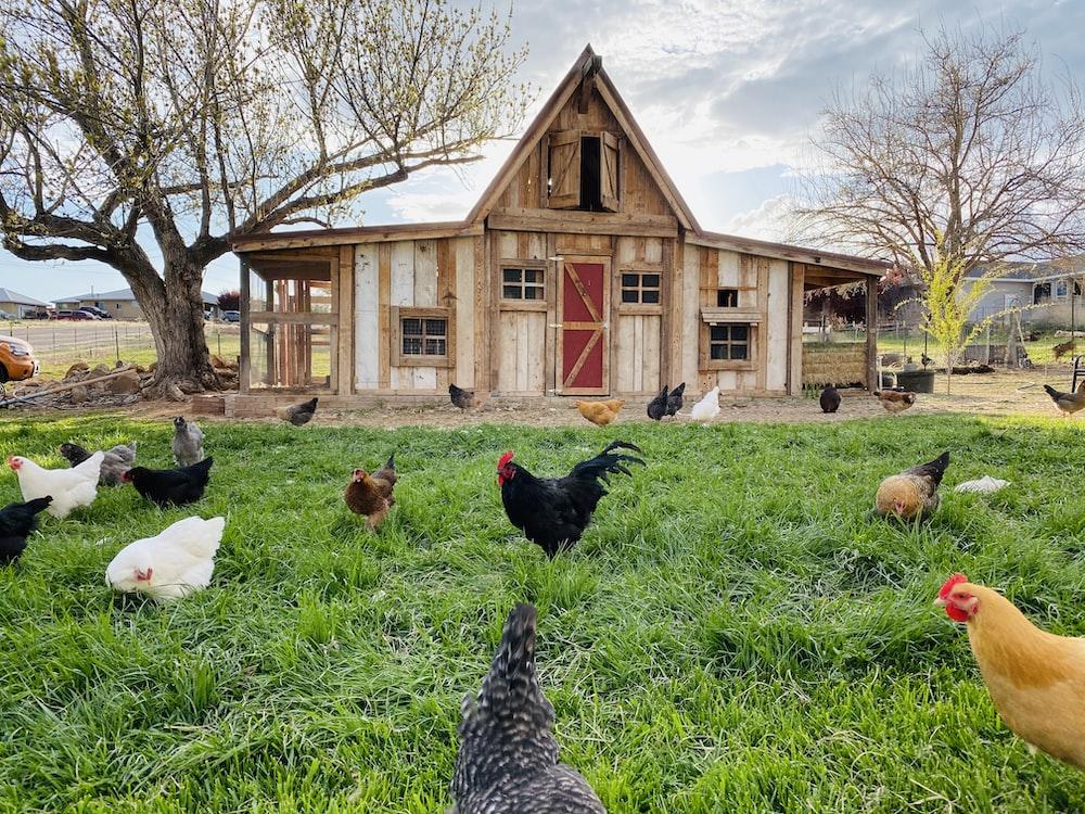 flock of chicken on green grass field during daytime