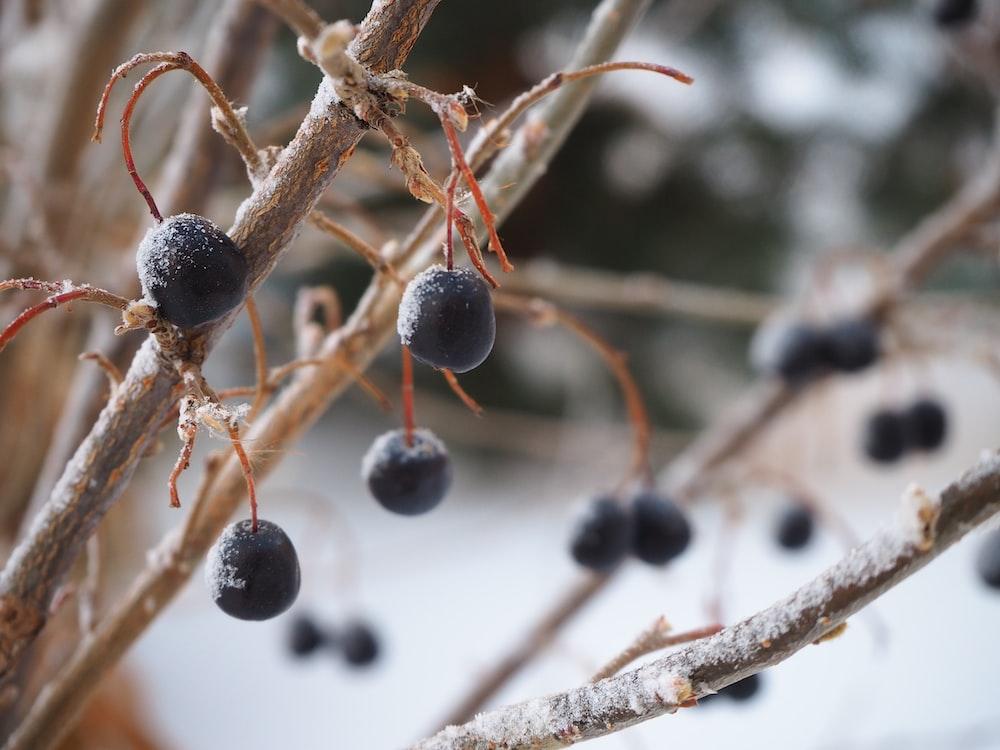 black round fruit on brown tree branch