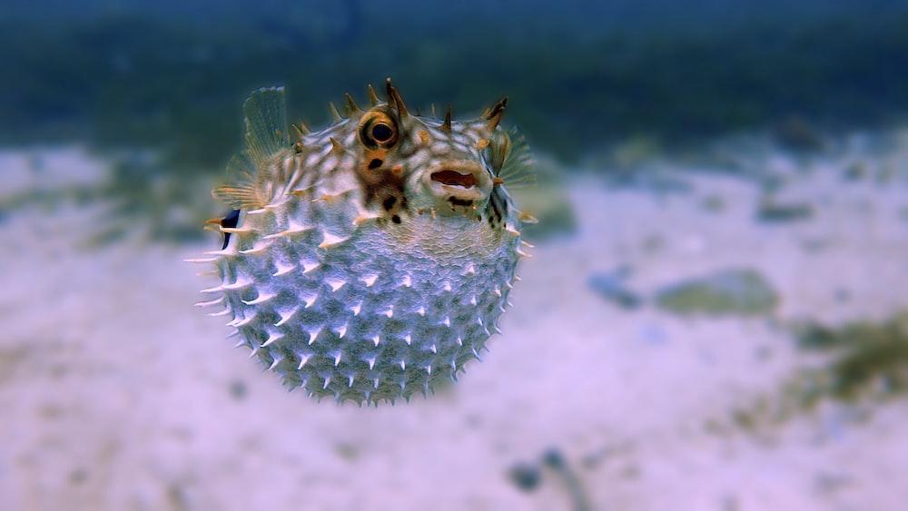 Ikan puffer (Foto: Unsplash/Stelio Puccinelli)