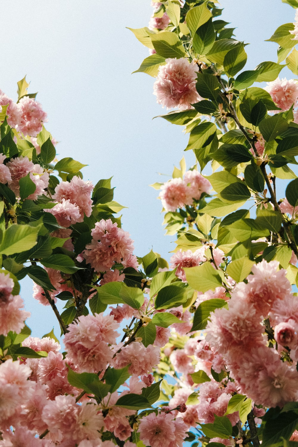 pink flowers with green leaves during daytime