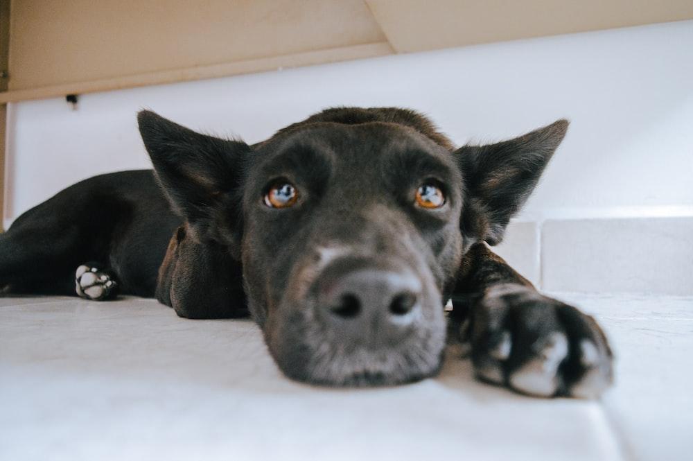 black short coated dog lying on white floor