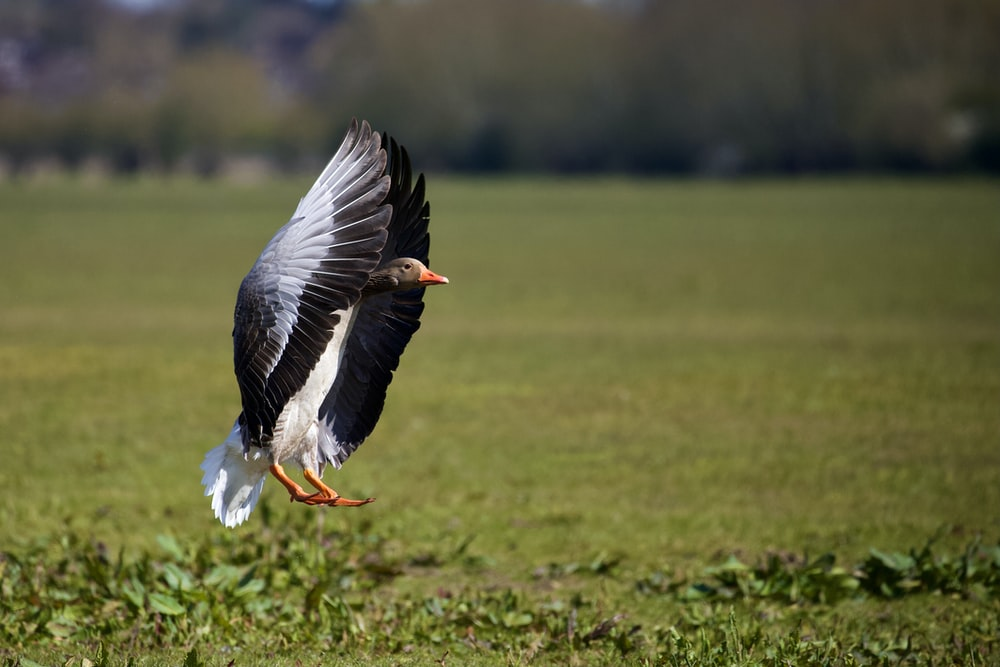 black and white bird flying over green grass field during daytime