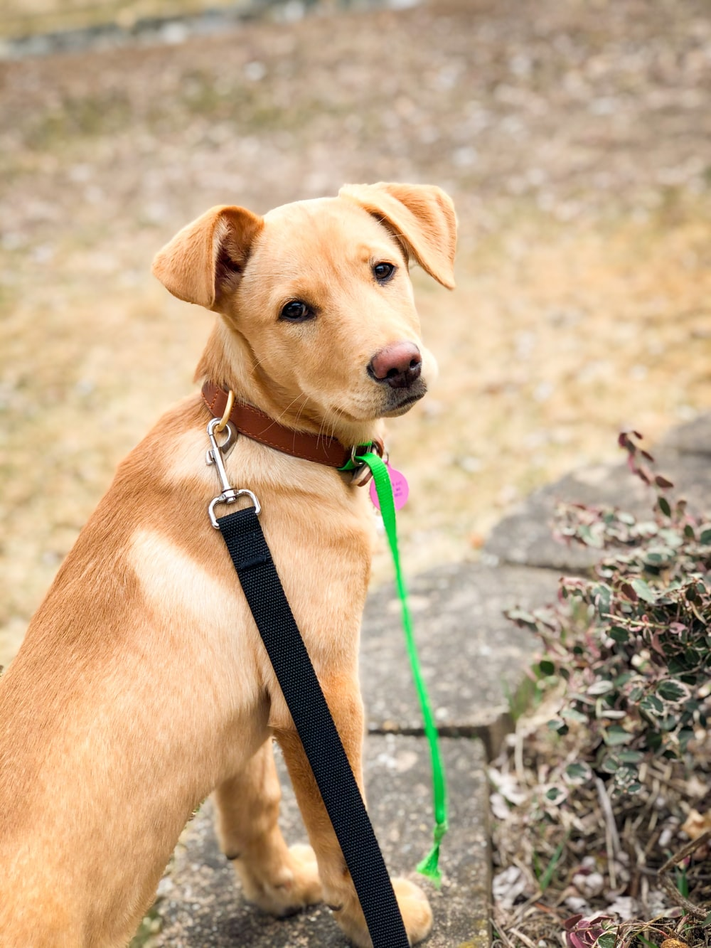 brown short coated dog with black leash