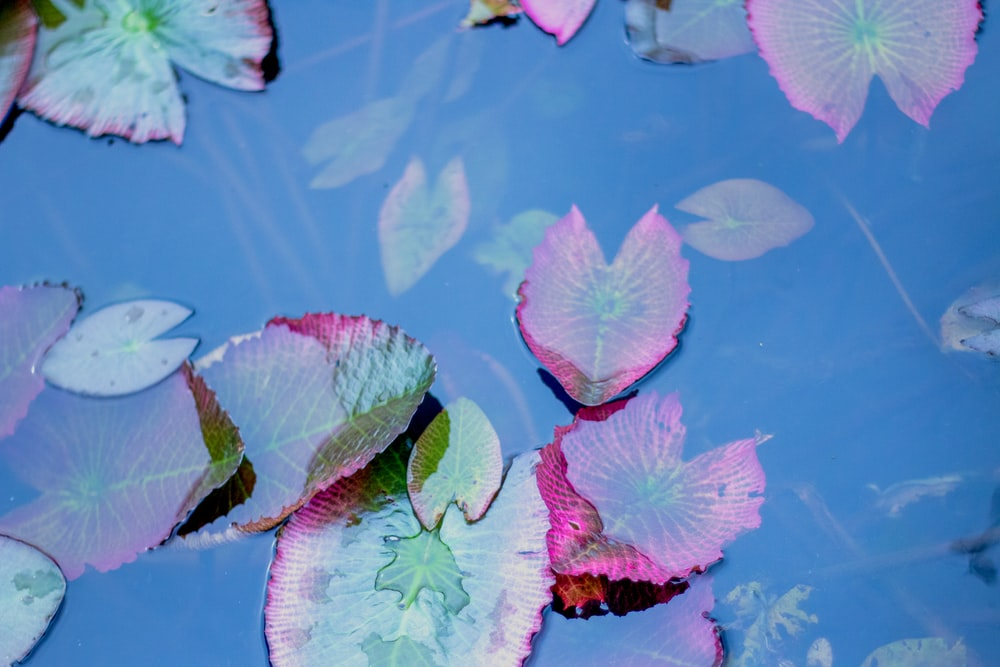pink and green lotus flower on water