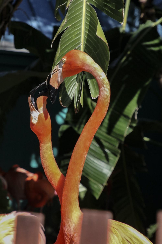orange flamingo in close up photography