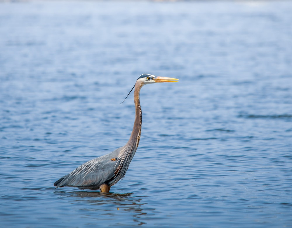 grey heron flying over the sea during daytime
