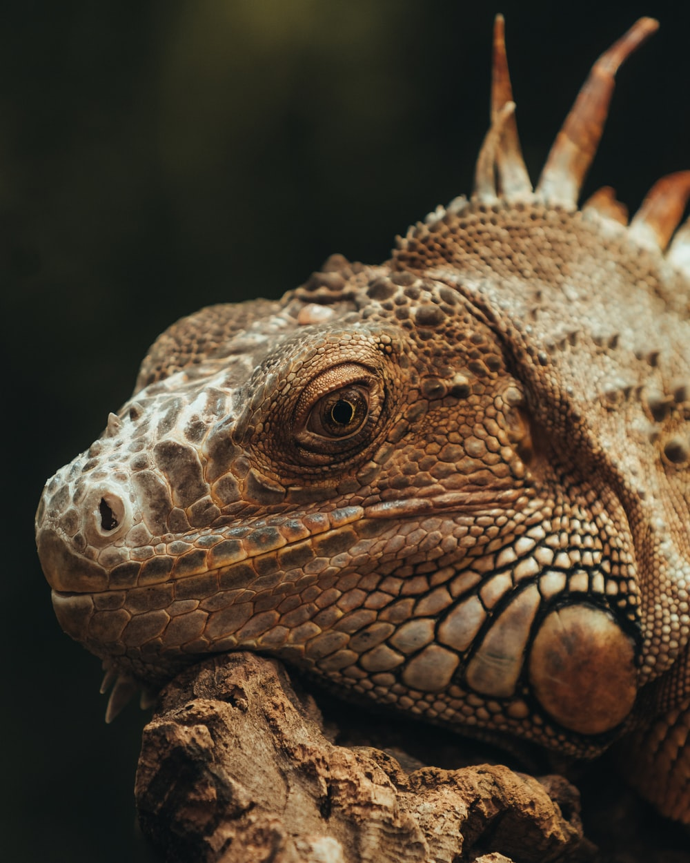 brown and black bearded dragon