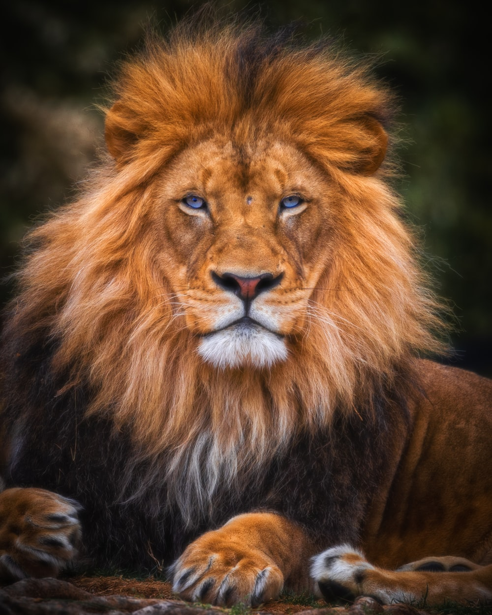 20+ Lion Pictures & Images   Download Free Images & Stock Photos ...
