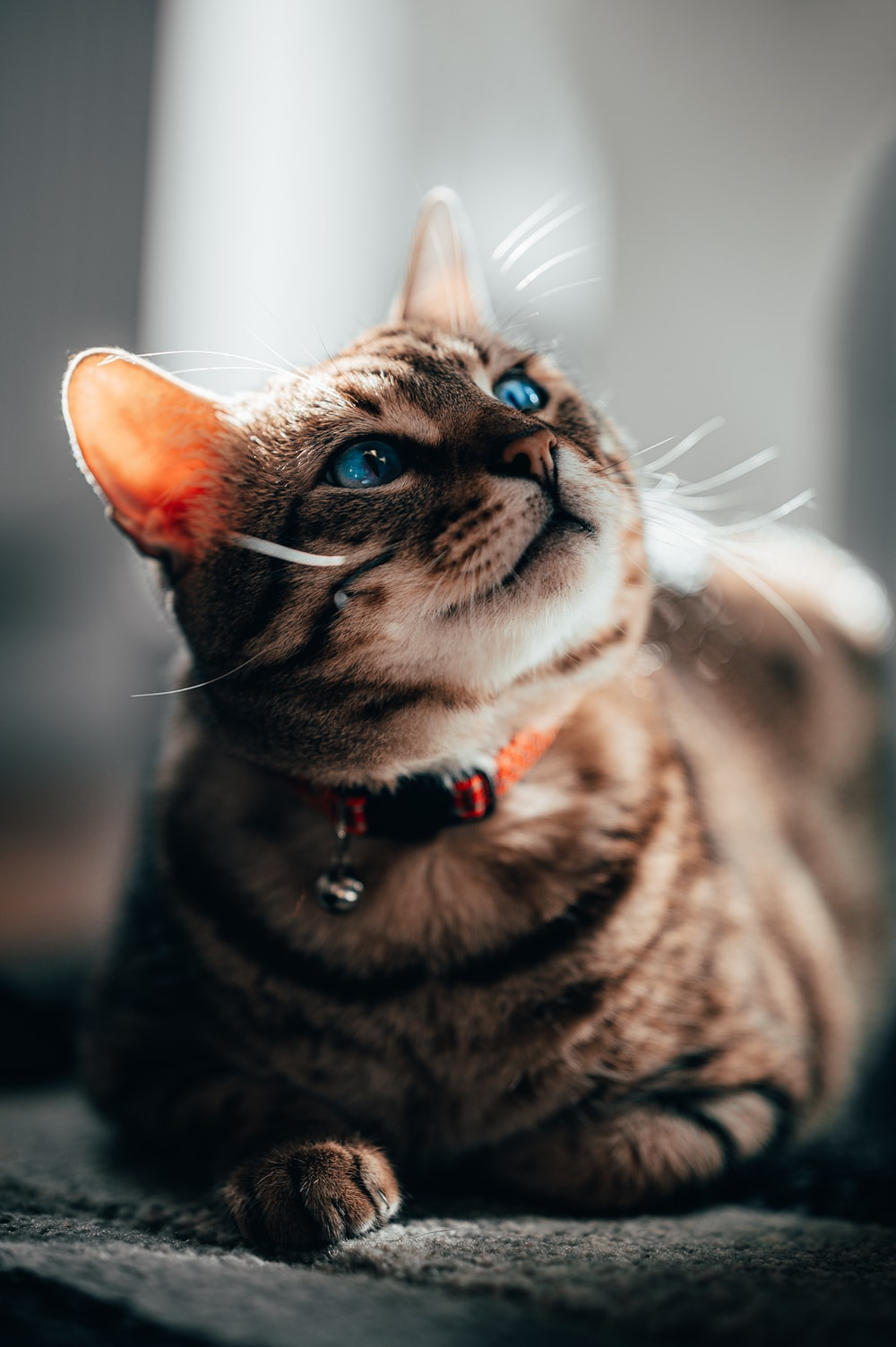 brown tabby cat with red collar