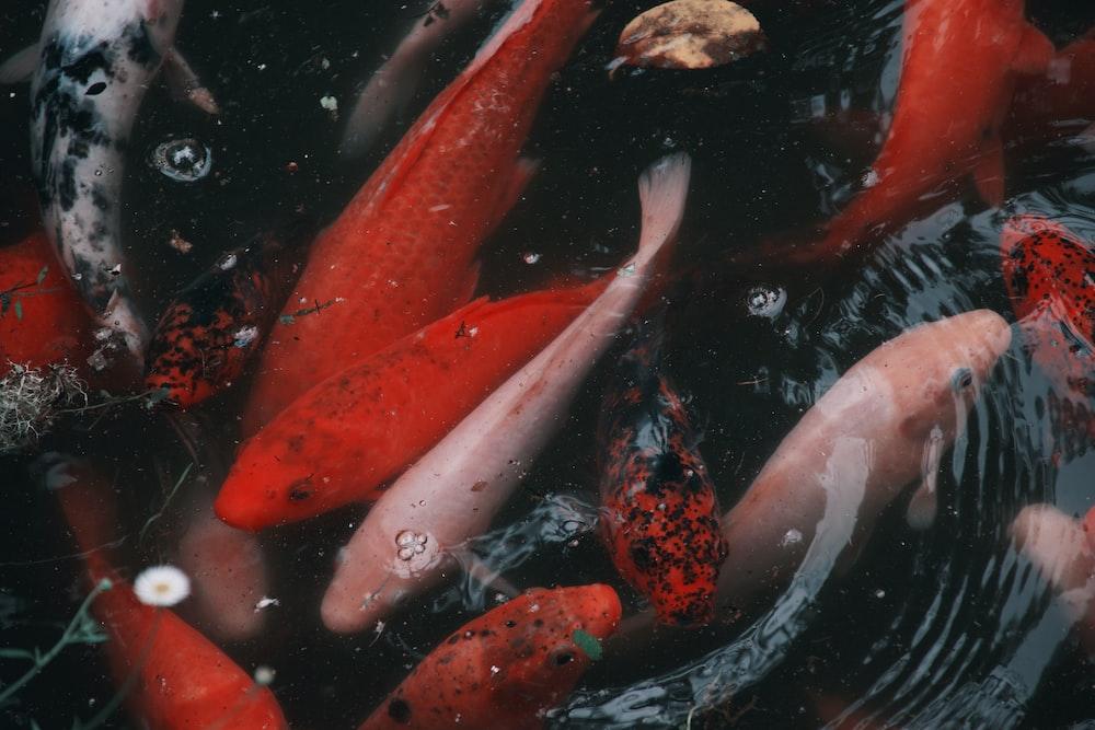 red and white koi fish
