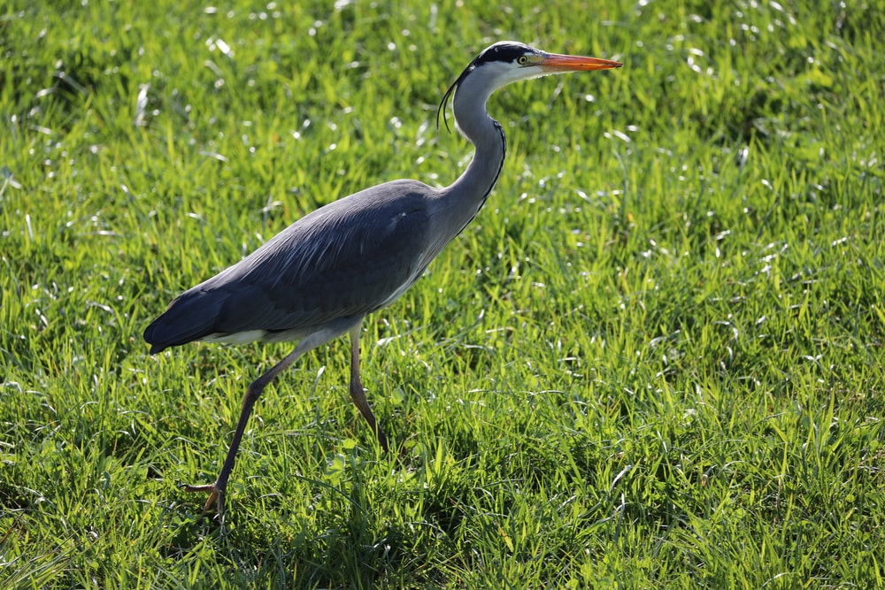 grey heron on green grass field during daytime